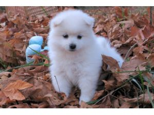Toy American Eskimo Dog Puppies For Sale Oregon