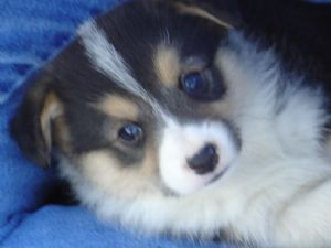 Mini Corgi Puppies For Sale >> Pembroke Welsh Corgi Puppies In Tennessee