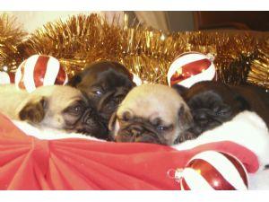 Pug Puppies in Georgia