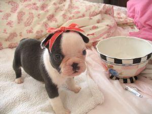 French Bulldog Puppies In California