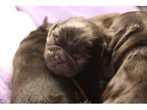 Pug Puppies in Florida