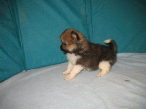 Pomeranian Puppies in Kentucky
