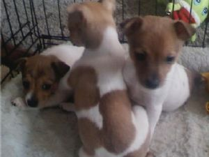 Rat Terrier Puppies In Idaho