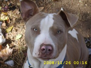 American Pit Bull Terrier Puppies In Louisiana