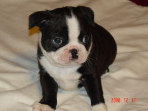 Boston Terrier Puppies In Texas