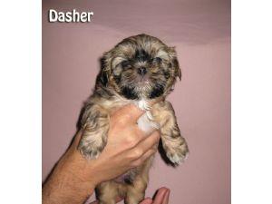 Shih Tzu Puppies In Michigan