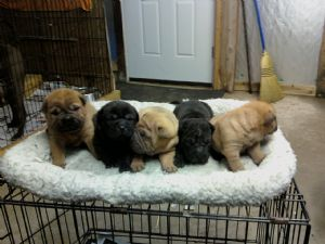 Chinese Shar Pei Puppies In Indiana