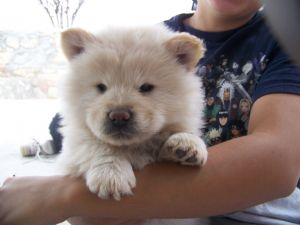 Chow Chow Puppies in Texas