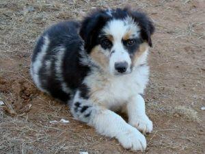 Miniature Australian Shepherd Puppies In Arizona