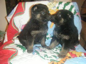 German Shepherd Puppies in Kentucky