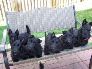 Scottish Terrier Puppies In Missouri