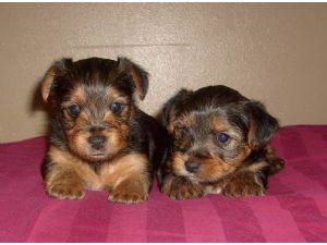 Yorkshire Terrier Puppies In Washington Dc