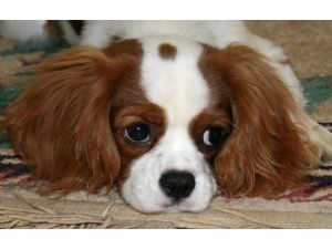 King charles cavalier puppies for sale ohio