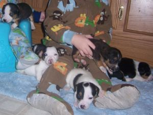 Jack Russell Terrier Puppies in Washington
