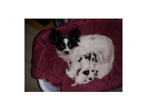 Papillon Rescue Raleigh Nc