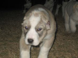 Central Asian Ovtcharka puppies for sale