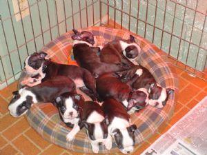 Boston Terrier Puppies In Oregon