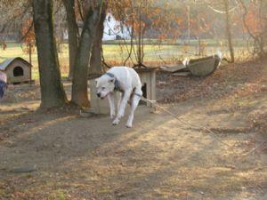 American Bulldog Puppies In Kentucky
