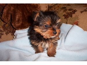 Yorkshire Terrier Puppies In Georgia