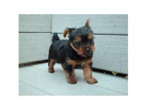 Yorkshire Terrier Puppies in Texas