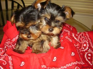 Yorkshire Terrier Puppies In Texas