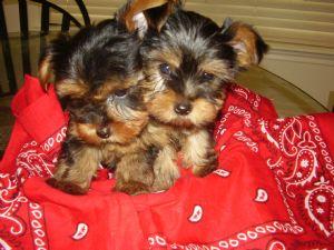 Yorkie Puppies For Sale In San Antonio Texas