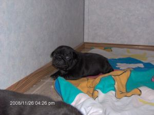 Pug Puppies in Iowa