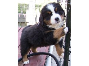 Bernese Mountain Dog Puppies In Colorado