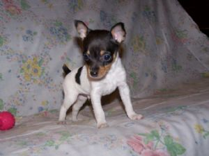 Fox Terrier Smooth Puppies In Minnesota
