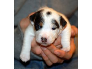 Jack russell terrier puppies for sale for Tiny puppies that stay tiny for sale