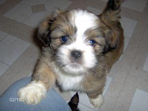 Lhasa Apso Puppies In South Dakota