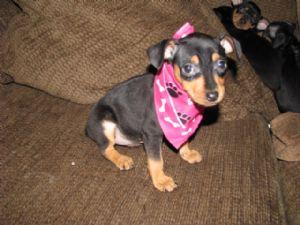 Miniature Pinscher Puppies In Ohio