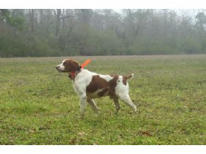 Brittany Spaniel puppies for sale