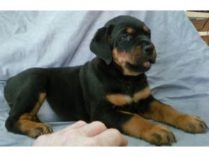 Rottweiler Puppies In Michigan