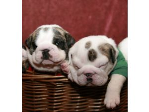 English Bulldog Puppies in Kentucky