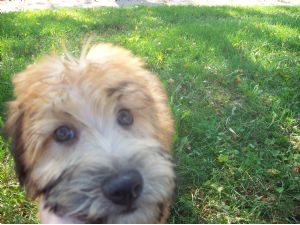 Wheaten terrier adoption illinois