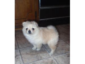 pomeranian breeders in tn pomeranian puppies in tennessee 2749