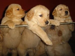 Akc golden retriever breeders ct