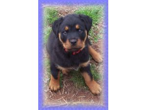 Rottweiler Puppies In Texas