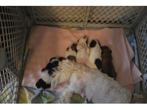 Shih Tzu Puppies In Utah