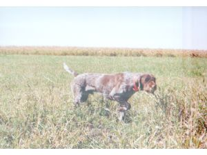 Wirehaired Pointing Griffon puppies for sale