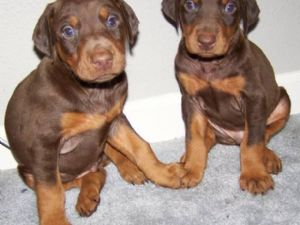 doberman pinscher puppies in indiana