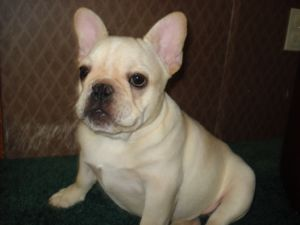 French Bulldog Puppies In Kentucky