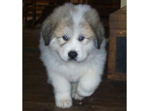 Great Pyrenees Puppies In Maryland