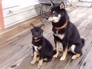 Shiba Inu Puppies In Oregon