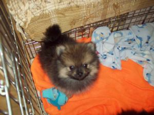 Admirable Pomeranian Puppies In Texas Hairstyles For Men Maxibearus