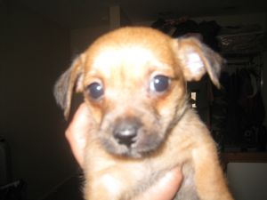 Tiny T-cups and Toys Precious Deerheed and Appleheads 1911.67 miles. Breed:  Chihuahua