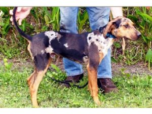 Catahoula Leopard Dog Puppies in Florida