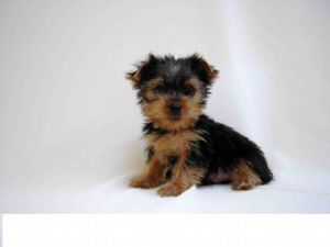 Yorkshire Terrier Puppies In Michigan