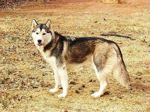 siberian husky puppies in texas